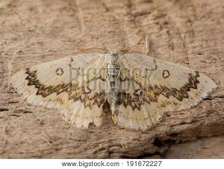 The mocha (Cyclophora annularia) moth from above. An attractive British moth that feeds on field maple (Acer campestre) in the family Geometridae