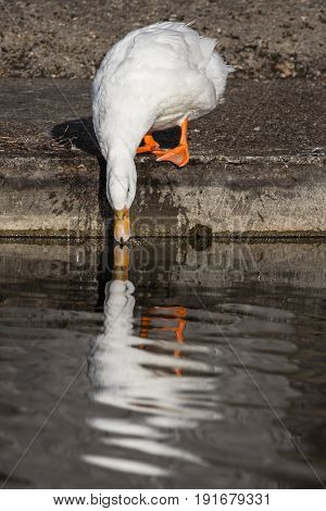 White domestic duck sipping water with reflection. Aesthetic nature image. Bird drinks water at riverside. River wildlife in an urban area.