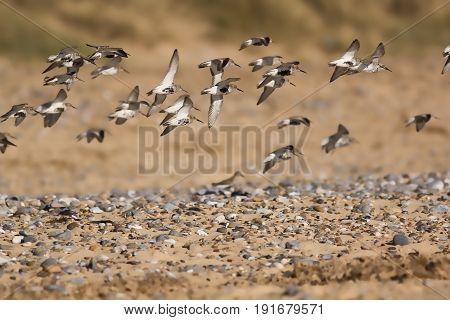 Flock of sandpiper (Actitis hypoleucos) birds flying over pebble strewn beach. Selective focus.