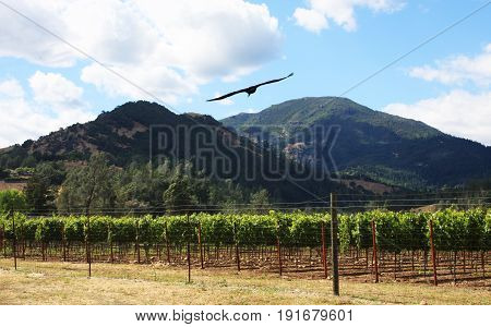 Vineyard in Napa Valley with two mountains in the distance and a bird soaring in the blue cloudy sky.