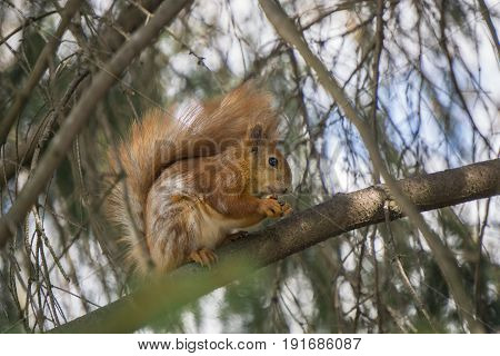 hungry red squirrel sits on a tree branch in nature and gnaws nut