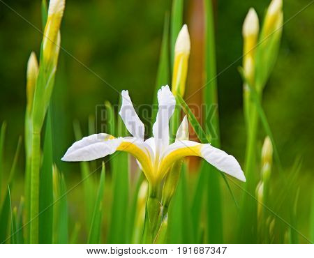 beautiful whiter irises grow up surrounded by green leaves, bright interesting flowers. sunny day