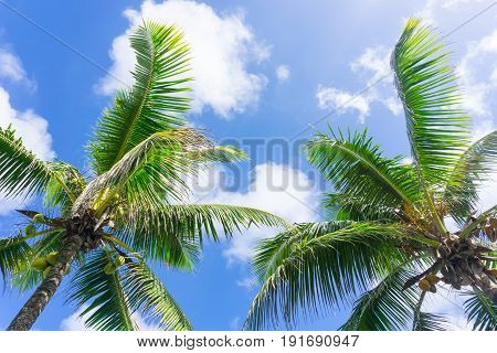 Coconuts hang above from palm trees and fronds sway in breeze in tropical scene below sky with white clouds..