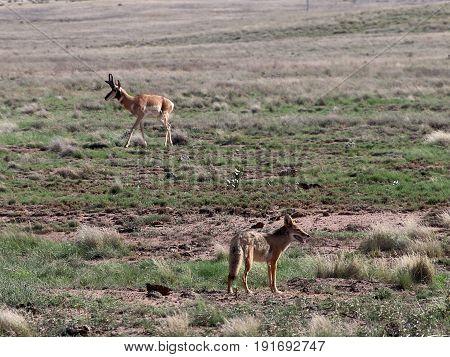Coyote And Pronghorn Buck In Prescott Valley Highlands