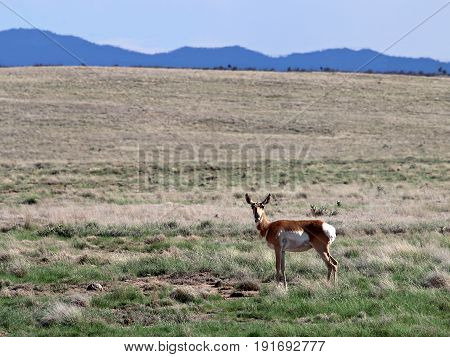 Pronghorn Doe in Prescott Valley, Arizona Highlands