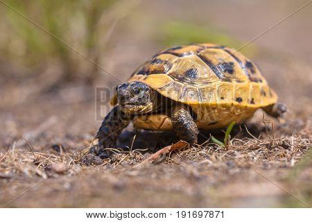 Juvenile Spur-thighed Tortoise