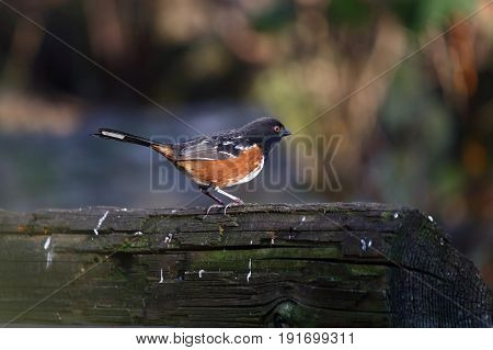 spotted towhee sitting on alog close up