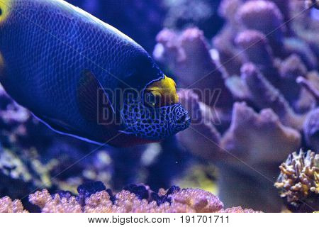 Blue Faced Angelfish Pomacanthus Xanthometopon