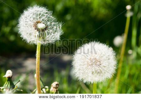 Fluffy white dandelions. Delicate dandelion seeds. Wild flower in the meadow.