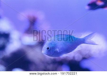 Blue Green chomis fish Chromis viridis has a pale green color and is found on the reef