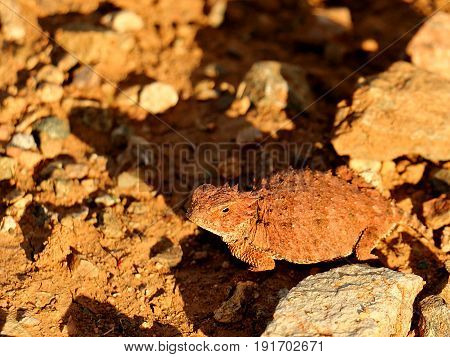 Desert Horned Lizard in Sonoran Desert near Phoenix, Arizona
