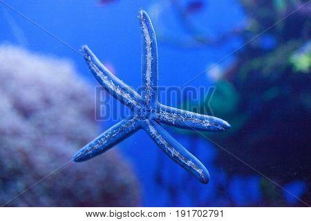 Blue Starfish Linckia Laevigata