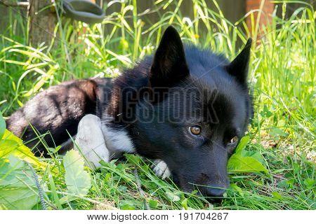Sad black dog with sad eyes lying on the grass.