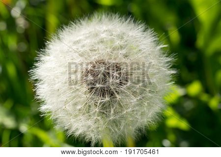 Mature fluffy white dandelion close. Delicate dandelion seeds. Wild flower in the meadow.