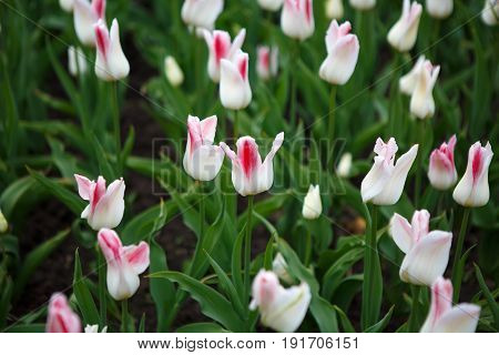 Flowers tulips white Burgundi - luxury of Dutch variety. Tulips Burgundi miliarity decorative red Lily exquisite. Cup-shaped flower.
