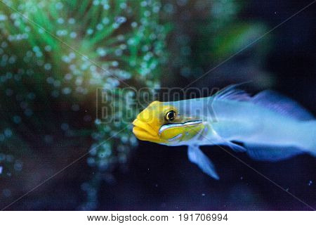 Sleeper Gold Head Goby Fish Valenciennea Strigata