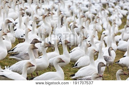 snow geese in BC Canada close up