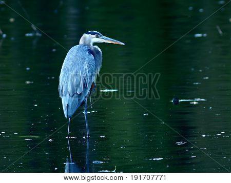 Great Blue Heron in Pond, Minneapolis, Minnesota