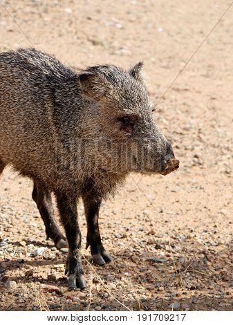 Wild Javalina in the Sonoran Desert near Phoenix, Arizona