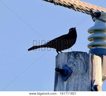A blackbird with a bright eye sitting on a wooden power pole