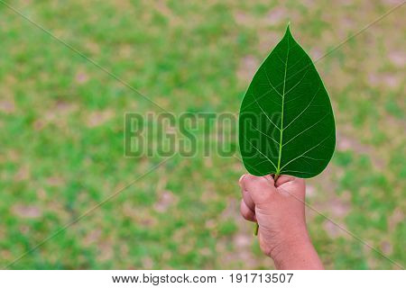 Hand hold bo leaf, Beautiful in nature.