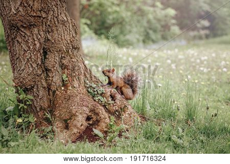 Animal wild life image of red squirrel sitting on large tree in forest on summer day copyspace for text