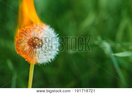 Dandelion On Fire In The Garden Among The Grass