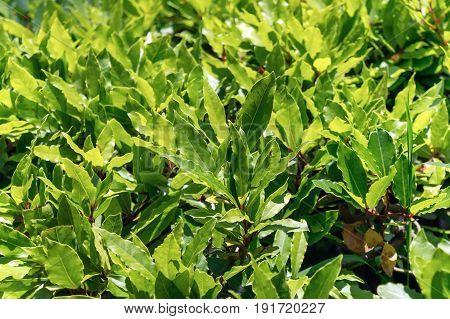 Green bay leaves (Bay laurel) on bush nature background. Spice ingridient.