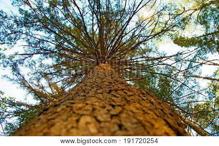large, high pine, bottom-up view, beautiful tree bottom view. sunny day.