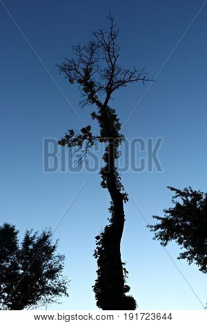 Scraggly Tree in Twilight against a Clear Blue Sky
