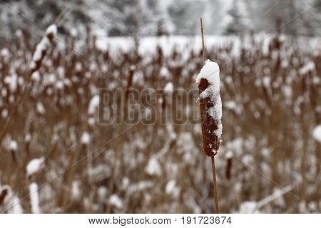 Snowy Cattails In Theodore Wirth Park, Minneapolis