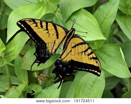 Two-Tailed Swallowtail Butterfly (Papilio multicaudata) Photographed in Prescot Valley, Arizona, USA