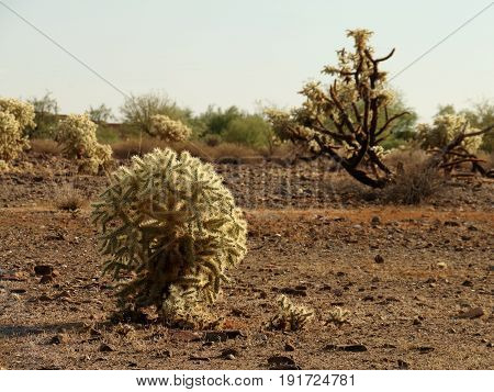 Cholla Cactus Illuminated from the Side in Sonora Desert