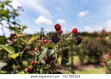 Colorful Raspberry on plant with out of focus background