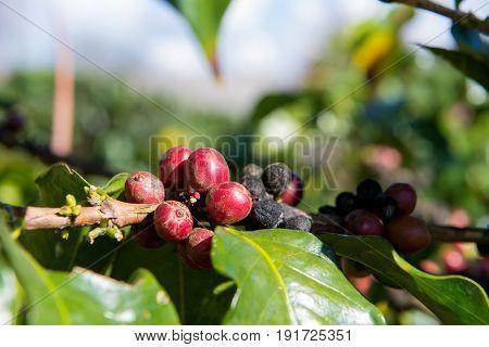 Arabica And Robusta Tree In Coffee Plantation