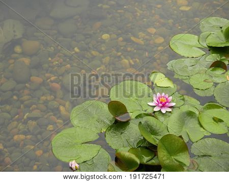 single water lily on green   Single water lily and lily pads in pond with stones