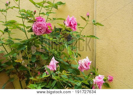 A Bush Of Light Pink Roses Flowering Near The Yellow Wall, Heidelberg, Germany.