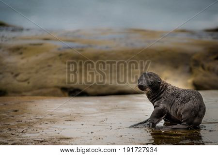Baby sea lion on the rocks at dawn