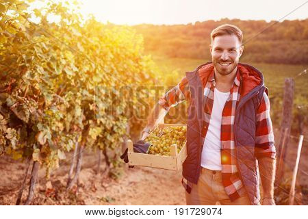 smiling man picking white grapes in his vineyard