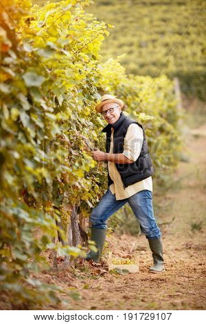 winemaker harvest the grape at his family vineyard