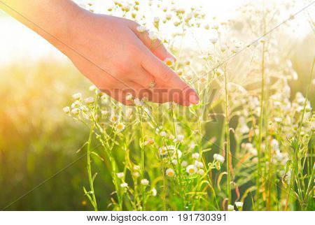Woman hand touching chamomile wildflowers closeup. Meadow field with wild flowers, Health care concept. Rural field. Hand Skin care treatment, Alternative medicine. Environment
