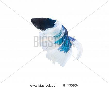 Betta Fish Or Fighting Fish (Half Moon Double Tail) Isolated On White Background