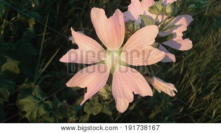 Mallow, musk mallow. Malva, malva moschata. Hollyhock. Althaea, Althea. Steppe herb. Natural background. Steppe flower. Meadow herb.
