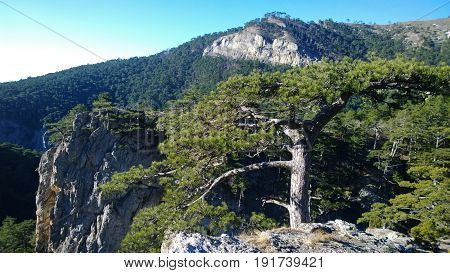 Lonely tree on a rock in gorge Uch-Kosh