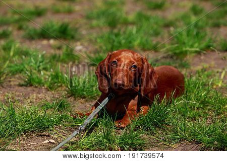 the dog dachshund is lying on green grass