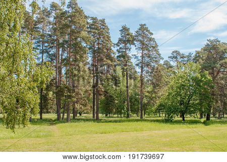 Image of tall pine trees on a glade in the arboretum