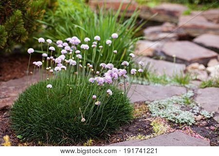 Armeria maritima (Sea thrift) pink flowers blossoming in the garden. Selective focus.