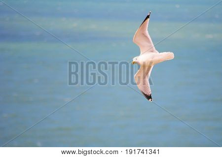 White seagull with black wing tips flying