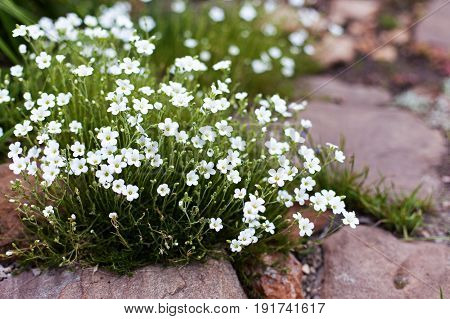 Ground cover plant for alpine hills - white Draba small flowers. Selective focus