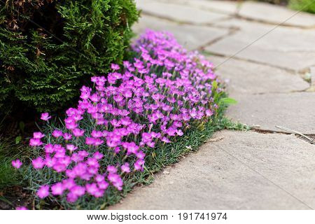 Dianthus deltoides carnation pink flowers - ground cover plant for alpine hills in bloom. Selective focus